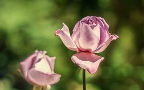 Картинка цветы, розы, розовые, бутоны, зеленый фон, сиреневые, боке