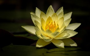 Картинка цветок, темный фон, кувшинка, водоем, желтая, нимфея, водяная лилия