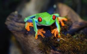Картинка взгляд, темный фон, мох, лягушка, зеленая, боке, красноглазая квакша