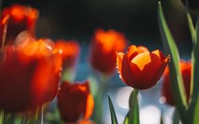 Картинка свет, весна, сад, тюльпаны, красные, клумба, боке