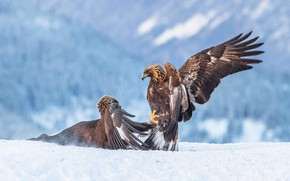 Картинка зима, взгляд, снег, горы, птицы, природа, поза, орел, две, крылья, лапы, бой, пара, когти, орёл, …
