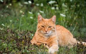 Картинка кошка, лето, трава, кот, взгляд, морда, цветы, природа, поза, отдых, поляна, лапы, рыжий, лежит, полосатый, …