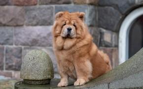 Картинка взгляд, собака, Чау-чау
