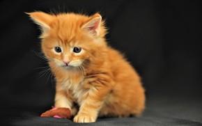 Обои кошка, кот, усы, взгляд, котенок, мордочка, милый, черный фон, cat, kitty, look, cute, black background, ...
