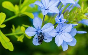 Картинка макро, цветы, муха, голубые
