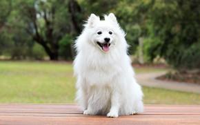 Картинка собака, белая, сидит, шпиц