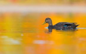 Картинка вода, оранжевый, желтый, фон, птица, серая, утка, водоем, плавание