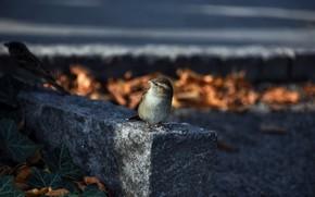 Картинка природа, птица, воробей