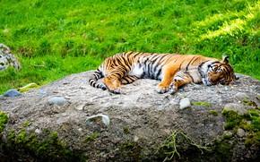 Картинка тигр, камень, лежит