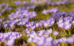 Картинка поляна, весна, крокусы, много, сиреневые