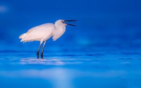 Картинка природа, Reddish Egret, White morphe