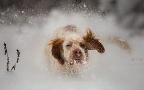 Картинка зима, взгляд, морда, снег, природа, собака, нос, бег, сугробы, рыжая, прогулка, уши, снегопад, спаниель, сеттер, …