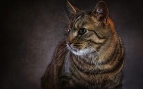 Картинка кошка, глаза, кот, взгляд, морда, темный фон, серый, блеск, портрет, полосатый