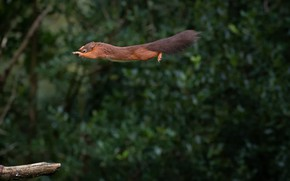 Картинка полет, белка, flight, squirrel, Mark Stewart