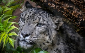 Картинка снежный барс, снежный леопард, Ирбис