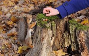 Картинка осень, листва, белка, орехи