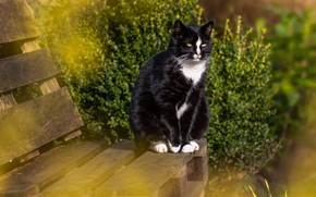 Картинка зелень, кошка, лето, кот, скамейка, черный, сад, лавочка, кусты, желтые глаза, с белым