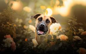 Картинка взгляд, морда, цветы, розы, собака