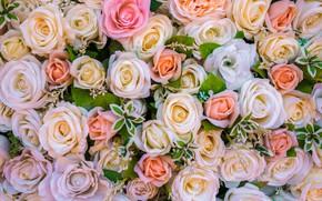 Картинка цветы, фон, розы, бутоны, много