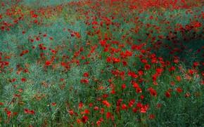 Картинка зелень, поле, лето, трава, цветы, поляна, мак, маки, луг, красные, много, маковое поле