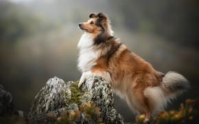 Картинка собака, фон, Шелти, Шетландская овчарка, камень