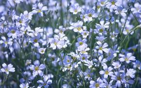 Картинка свет, цветы, поляна, белые, лужайка, много, ясколка