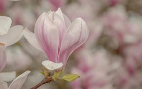 Картинка цветок, весна, цветение, магнолия