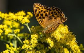 Картинка макро, цветы, бабочка, желтые, коричневая