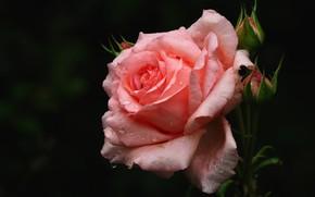 Картинка цветок, капли, темный фон, розовая, роза, бутоны, одна