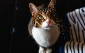 Картинка кошка, кот, взгляд, морда, темный фон, серый, портрет, ткань, сидит, полосатый, зеленоглазый, смотрит вверх, с …