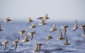 Картинка море, птицы, стая, полёт