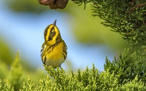 Картинка ветки, фон, птица, туя, Пугливый лесной певун