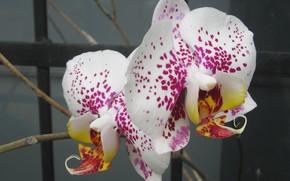 Картинка flower, macro, phalaenopsis, plant, petals