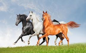 Картинка поле, белый, трава, взгляд, облака, серый, кони, лошади, бег, грация, три, прогулка, компания, трио, коричневый, …