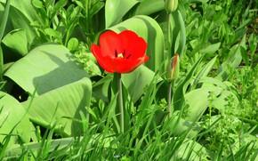 Картинка тюльпаны, бутоны, красный тюльпан, весна 2018, Meduzanol ©