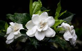 Картинка листья, капли, цветы, темный фон, белые, камелии