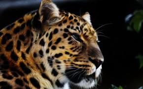Картинка морда, хищник, Амурский леопард