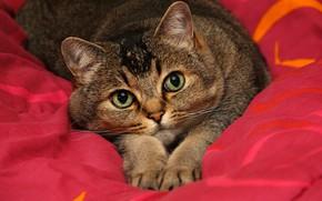 Картинка кошка, кот, взгляд, морда, поза, серый, портрет, лапы, постель, одеяло, полосатый, зеленые глаза, котя