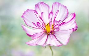 Картинка цветок, лето, макро, розовый, лепестки, боке, космея