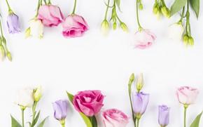 Картинка цветы, бутоны, fresh, pink, flowers, violet, эустома, eustoma