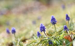Картинка макро, цветы, весна, фиолетовые цветочки