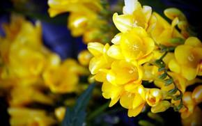 Картинка фон, жёлтые цветы, Фрезия