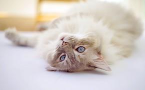 Картинка кошка, кот, лежит, светлый фон, рэгдолл