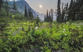 Картинка пейзаж, цветы, горы, природа, красота, утро, ели, луг, панорама, ёлки