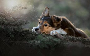 Картинка взгляд, ветки, настроение, собака, мордашка, шишка, Светлана Писарева