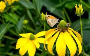 Картинка макро, цветы, насекомые, пчела, бабочка, желтые, сад, парочка, боке, рудбекия
