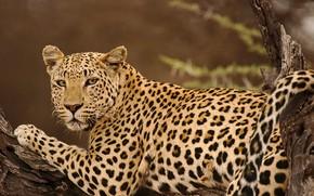 Картинка взгляд, отдых, леопард, коряга, дикая кошка