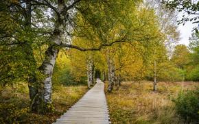 Картинка осень, мост, берёзы