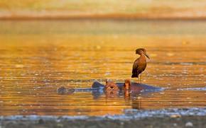Картинка птица, бегемот, Африка, Зимбабве, Национальный парк Мана-Пулс, молотоглав