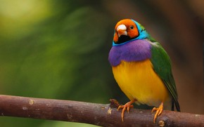 Картинка фон, птица, ветка, Гульдова амадина
